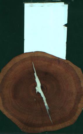 end grain Plum, 0.0529